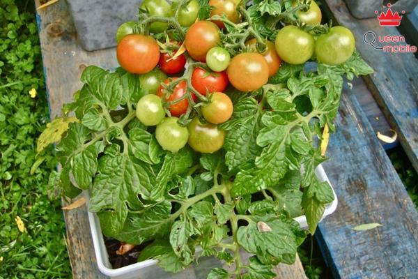 Biến hộp chứa kem thành chậu trồng cà chua