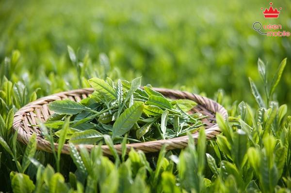 Trà xanh có tác dụng giảm cơn thèm ăn