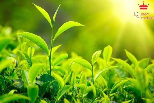 Trà xanh có tác dụng lợi tiều, trừ phong thấp