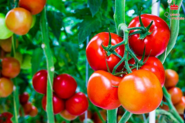 Cà chua chứa nhiều chất oxy hóa mạnh chống ung thư