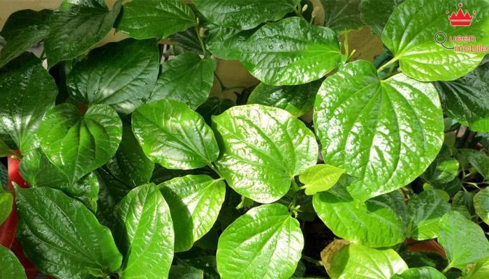 Chavicol trong lá trầu có tác dụng khử mùi hôi trên cơ thể