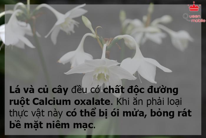 Hoa loa kèn Arum/ Ý lan